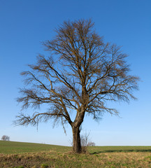 Single big tree in meadow in autumn