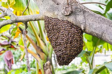 Giant honey bees