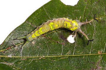 Common Pasha caterpillar