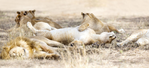 Sleeping lions in large pride at the savannah