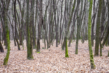 Leafless forest with moss-grown tree trunks