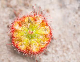 Sundews or Drosera tokaiensis carnivorous plant i