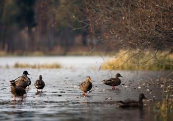Duck landscape.