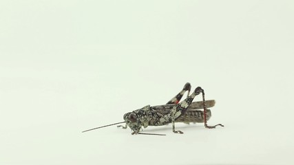 Lichen grasshoppers walks, stops and strokes antennae