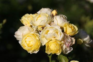 Photo bright roses