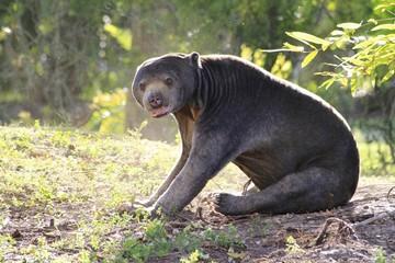 Malayan Sun Bear - Miami Zoo