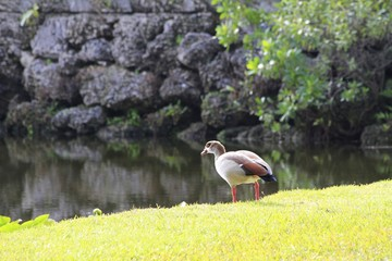 Egyptian Goose - Fairchild Gardens