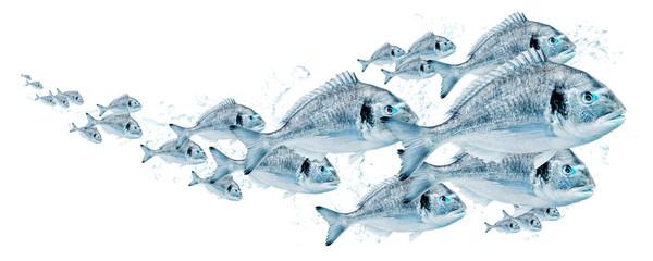 Fischschwarm, Dorade 0005