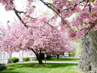 Washington Sakura tree 2010