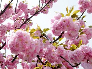 Washington The Sakura 2010