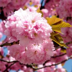 Washington The Sakura flower 2010