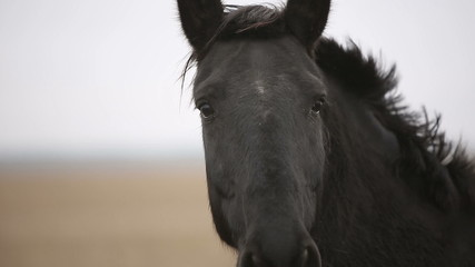 Lonely wounded black horse in an autumn field. Close up