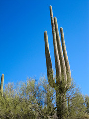Giant Saguaro rising above Palo Verde