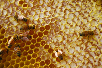 Honey Bees in their Hive