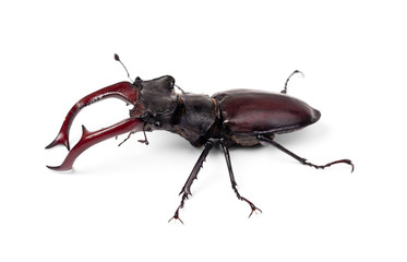 Brown stag beetle Lucanus cervus, the largest european beetle