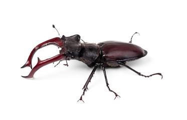 Brown stag beetle Lucanus cervus, the largest european beetle