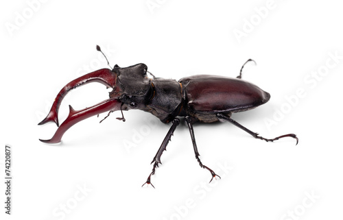 canvas print picture Brown stag beetle Lucanus cervus, the largest european beetle