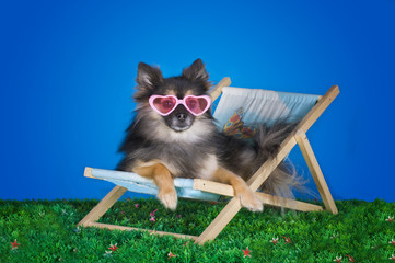 small Pomeranian resting on the grass in the summer