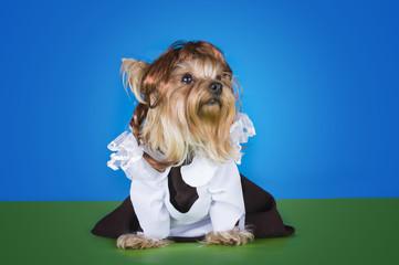 yorkshersky Terrier in dress schoolgirl