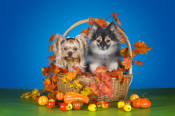 yorkshersky Terrier and Pomeranian with a basket with autumn har