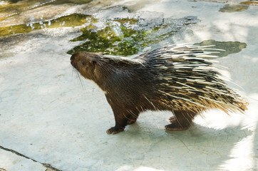 Porcupine at wildlife domestic station inThailand