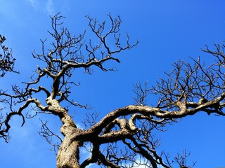Leafless tree with the blue sky.