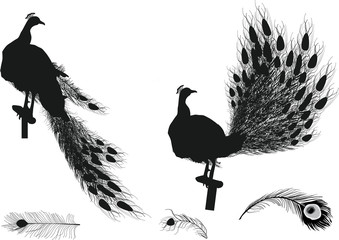 peacocks and feathres black silhouettes on white