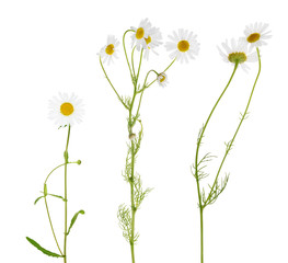 three fine chamomile flowers on white