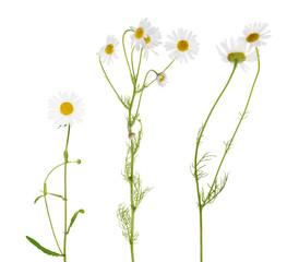 three fine chamomile flowers on white