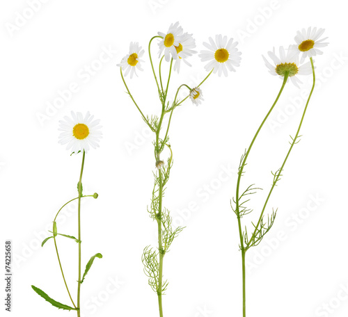 Fotobehang Bloemenwinkel three fine chamomile flowers on white
