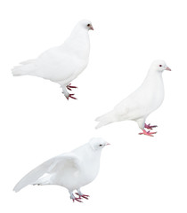 isolated on white three pigeons