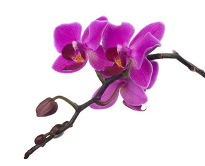 branch with dark small pink orchids and buds