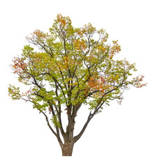 multi colored fall isolated tree
