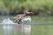 Great crested grebe duck while splashing