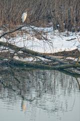 White egret heron portrait in winter time