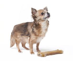 kleiner Chihuahua mit großem Knochen