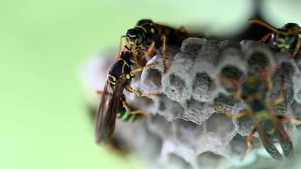 アシナガバチのグルーミング
