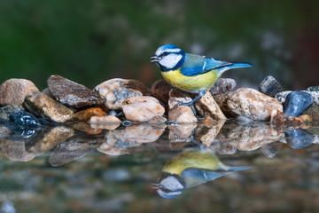Blue tit at birdbath drinking