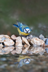 A garden bird (blue tit) at a birdbath