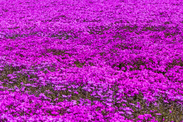 Pink moss phlox flowers and red of one side