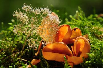 Orangebecherling
