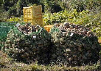 サツマイモの出荷