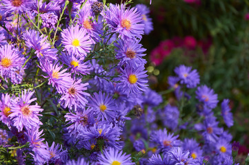 big bush of violet chrysanthemum