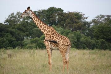 Einsame Giraffe - Kenia