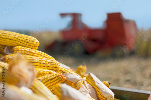 Corn maize cobs and combine harvester - 74243469