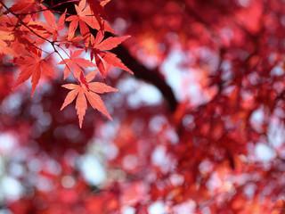 モミジ‐紅葉