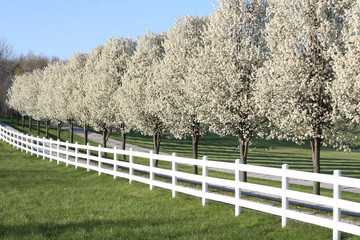 Pear trees along fence