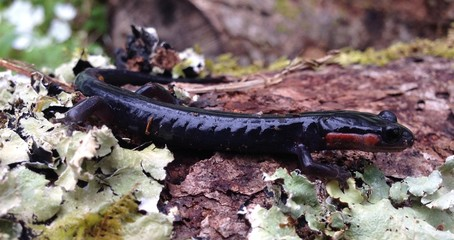 Red-cheeked salamander in the Great Smoky Mountains