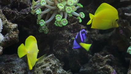Tropical fishes in an aquarium