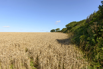 grain field and hedge , Cornwall